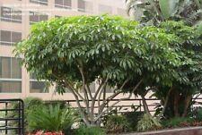Schefflera pueckleri syn Tupidanthus Exotic - 1 Plant!