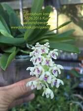 QOB Orchid RARE Miniature species Fragrant Tuberolabium kotoense 100mm vanda pot