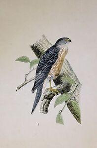 c1875 ANTIQUE PRINT ~ ACCIPITER SPHENURUS HAND COLOURED British Birds Morris