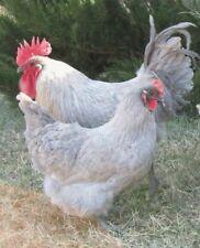 8 Lavender Orpington Hatching Eggs - Npip