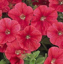 200 Pelleted Petunia Seeds Candypops Strawbery Vein Bulk Seeds
