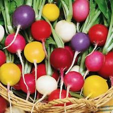 """Rare Organic Vegetable Radish Seeds """"Chupa Chups"""" (Raphanus sativus) - 200 Seeds"""