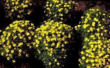 0.2g (approx. 240) signet marigold seeds GOLDEN GEM decorative edible flower