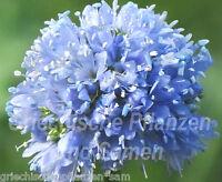 🔥 GILIA CAPITATA*blaue Kugeln f.Schmetterlinge* 100 Samen