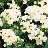 Phlox Seeds Promise White 50 Double Flower Phlox flower seeds Phlox drummon