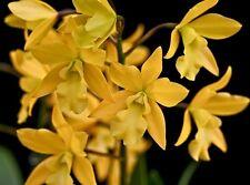 * Eplc. Golden Sunburst 'Exotic Orchids' Am/Aos - Orchid Plant - Cattleya Care