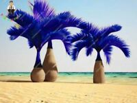 30 Pcs Blue Bottle Palm Seeds Exotic Plants Tree Balcony Bonsai Home Garden Plan