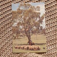 Mustering Sheep in the Australian Bush -  Vintage Postcard