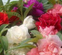 Impatiens Camellia Flowered Mix Seeds (I. balsamina)  Reseeds Not Invasive Color