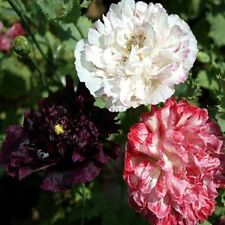 500 Seeds Poppy Peony Antique Shades FLOWER SEEDS Papaver Seeds