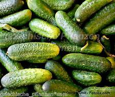 Cetriolo homemade Pickles SUPER GNAM 10 semi cetrioli per inserire