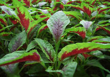 1000+ S. California Garden Organic Amaranth Seeds Red Callaoo