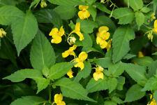 Impatiens rhombifolia - rustique - hardy- 1 plant en godet