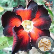 """SUPER Noir"" Adenium Obesum DESERT ROSE 5 graines fraîches viable, ROYAUME-UNI Supply"