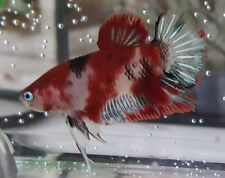 live betta fish #12 - rare blue eyes, koi male - Beautiful markings