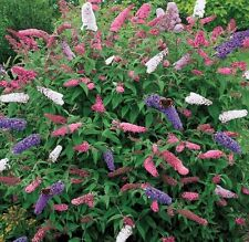 BUDDLEIA BUDDLEJA TRICOLOUR BUTTERFLY BUSH PLANTS 3 MIXED COLOURS - SHRUBS - P9
