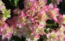 5 Live Bougainvillea 'Cherry Blossom' Tree Plant Cuttings