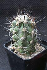 Kakteen Kaktus Copiapoa multicolor KK 1394, WE, own roots, not  Ariocarpus