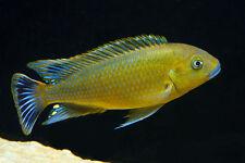 Four Fish colony, Pseudotropheus williamsi Blue Lips 1.25 inch Cichlid