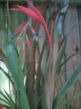 Bromeliad Queens Tear Air Plant Indoor Outdoor Plant