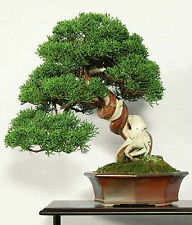 Genévrier de chine - 50 graines-juniperus chinensis bonsai