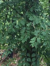 Trumpet Creeper Vine Orange Campsis Radicans 1 Bare Root Plant C