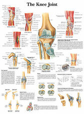 Cartel médico A3: la articulación de la rodilla (libro de texto de anatomía imagen patología GP)