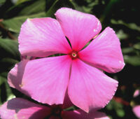 PERIWINKLE DWARF PINK LITTLE DELICATA Catharanthus Roseus - 250 Bulk Seeds