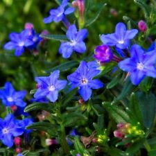 LITHODORA 'STARRY NIGHT' NEW SEEDS ADDED TO YOUR COLLECTION 15 SEEDS PER PACK