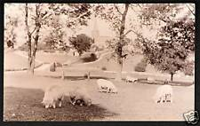 ? Crich near Belper, Ripley, Alfreton & Matlock. Sheep.