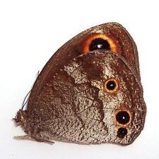 ABERRANT butterfly Callerebia polyphemus #SZ72 RARE