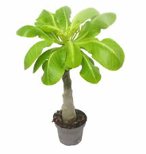 Zimmerpflanze Hawaii Palme 35 cm +/- brighamia insignis  Vulkanpalme