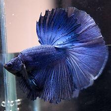 Live Betta Fish Naughty Male Solid Color SUPER SAFFRE BLUE Halfmoon HM #016