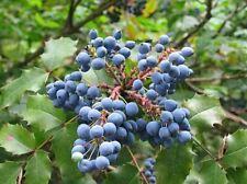 Oregon Grape Holly Seeds Mahonia Aquifolium Flower Small Shrub Pot - 50 Seeds