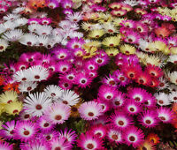 ICE PLANT MIX Dorotheanthus Bellidiformis - 1,000 Bulk Seeds