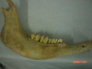 Buffalo Jaw Bone with Teeth