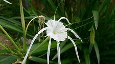 Lily White Spider Lily with leaves and roots