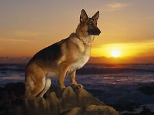 GERMAN SHEPHERD AT SUNSET 8X10 GLOSSY PHOTO PICTURE