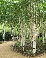 Betula utilis Jaquemontii - Silver Birch, Grafted Plant in 9cm Pot