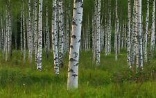White Birch Tree 100 PCS Rare Russian Heirloom  Survival Rate  Trees Planted