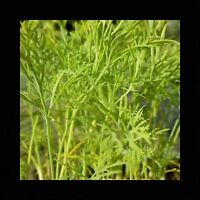 350 DILL HERB SEEDS FREE SHIPPING NON-GMO HEIRLOOM OPEN-POLLINATED SPICE USA