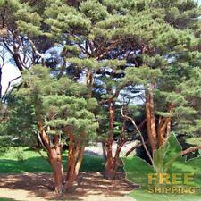 JAPANESE RED PINE Pinus Densiflora - 20 SEEDS. FREE S&H