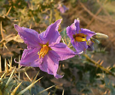30 Semillas - Solanum Virginianum - Dulcamara - Medicinal - Samen - Semi