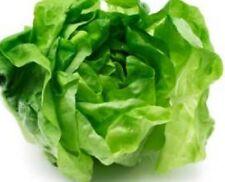 LETTUCE BUTTERHEAD Lactuca sativa crisp salad plants – 6-cell seedling punnet