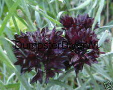 Black Bachelor Button  (black magic) 35+ seeds (gothic)