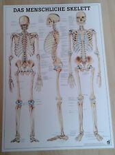 NEU Anatomie / Physiotherapie Lehr Poster Das menschliche Skelett