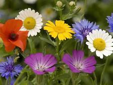 Wild semillas de flores de maíz Meadow 5000 + 10g * Compre 2 lleve 1 Gratis