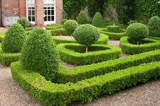 Buxus Ornamental Shrubs & Hedges