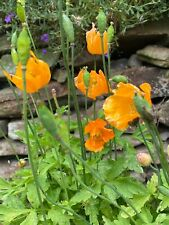 250+ Welsh Orange Poppy Seeds Meconopsis Cambrica Aurantiaca FREE P&P from Wales