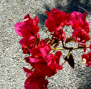 Bougainvillea Red,plant rooty cutting
